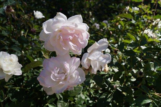 Sharlot Hall Museum: Rose Garden