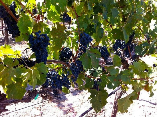 Gundlach Bundschu Winery: Up close and personal with the wine grapes