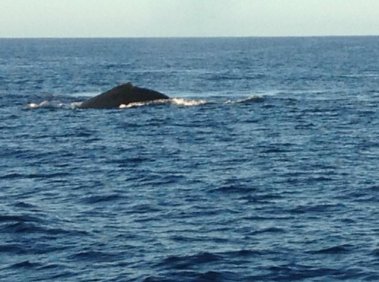Holo Holo Charters: Competition pod of humpback whales