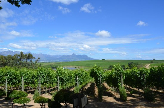 Morgenhof Estate: The vines