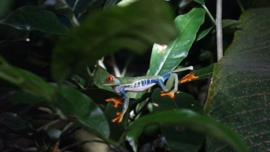 Monteverde Theme Park: Red eyed Tree Frog
