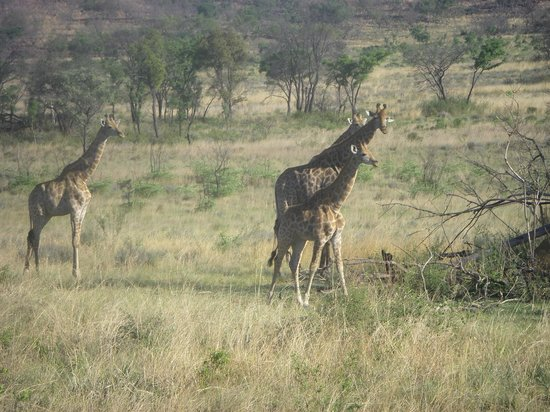 Nedile Lodge: Giraffes out on safari