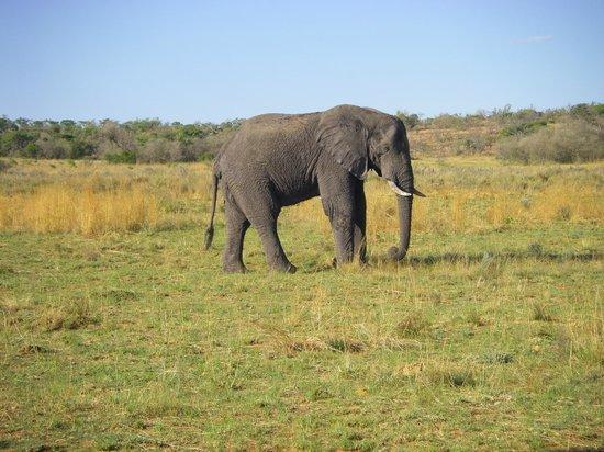 Nedile Lodge: Along side a full size male bull elephant