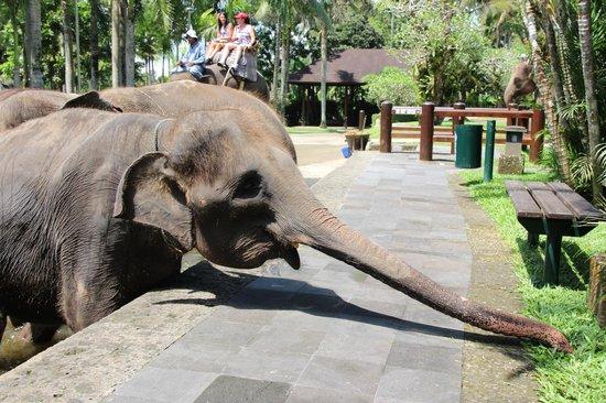 Elephant Safari Park & Lodge: stealing some grass
