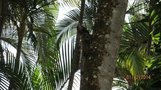 Hotel Mar de Luz : Iguanas in the trees