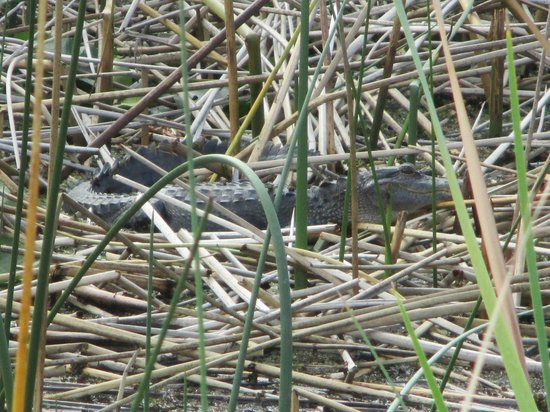 Captain Fred's Airboat Nature Tours: Small alligator sunning in the reeds