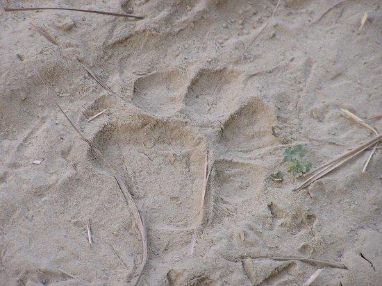 Corbett Safari : another pug mark
