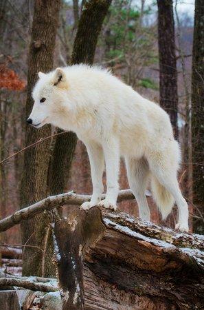 Lakota Wolf Preserve : Tala