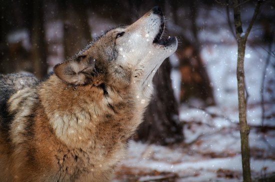 Lakota Wolf Preserve: His song
