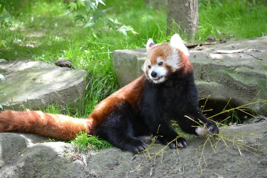 Zoo Knoxville : Red Panda