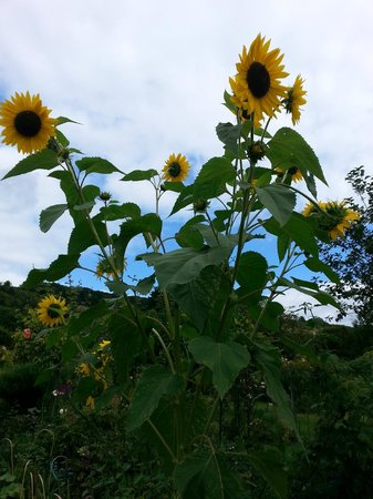 Giverny, Prancis: sunflowers