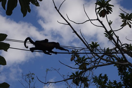 The Westin Golf Resort & Spa, Playa Conchal: Monkey at the zip line area, saw them on the beach too!