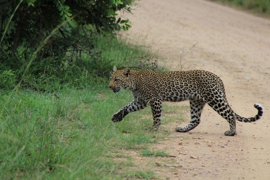 Jock Safari Lodge: Multiple leopards seen during one of our drives.