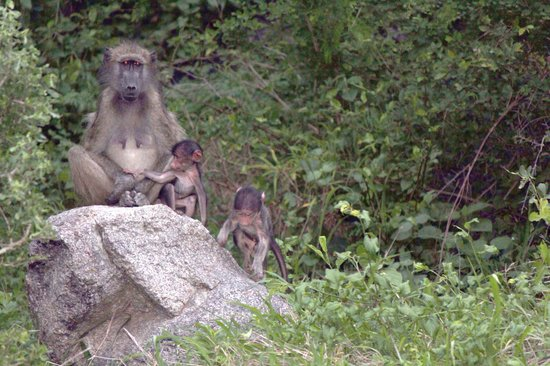 Jock Safari Lodge: Baboons