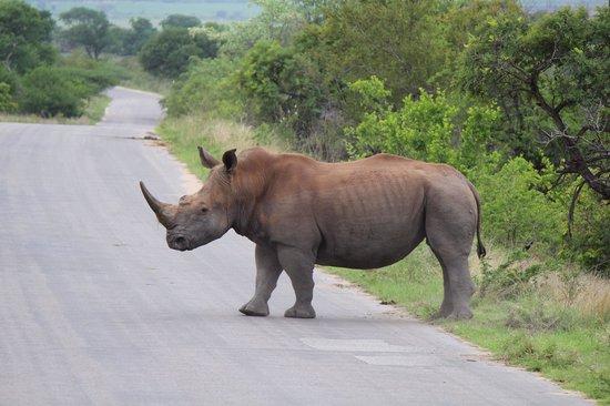 Jock Safari Lodge: Rhinos. Many white and black rhinos here.