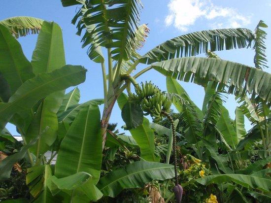 Hale 'Nalo Beach Rentals : Banana Trees on the Hale Nalo Grounds