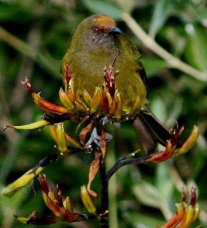 Catlins Kiwi Holiday Park at McLean Falls : Bell Bird Feeding