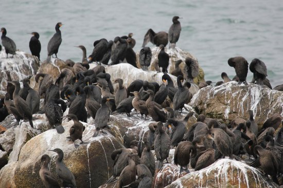 Stony Point Penguin Colony: Cormorants gathering