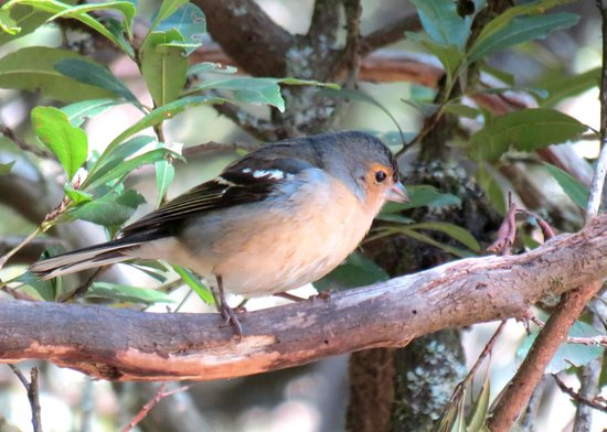 Garajonay National Park : Chaffinch at Laguna Grande
