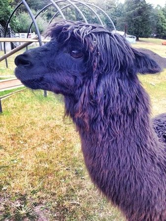 Tin Dragon Trail Cottages: One of 20 or so Alpacas on site