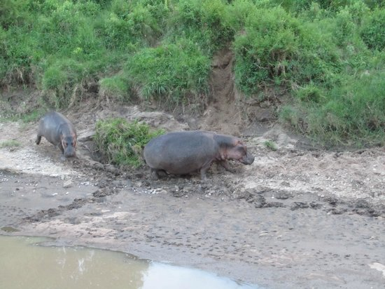 Mara Explorer Camp: View from the dining area in the evening - Family of hippos