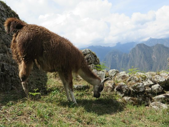 Camino Inca: Llama on the path