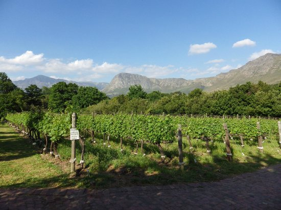 Boekenhoutskloof Winery: View across the Boekenhoutskloof vines to the Hottentots-Holland Mountain