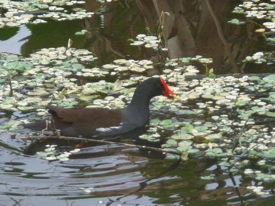 Arthur R. Marshall Loxahatchee National Wildlife Refuge: water birds in Loxahatchee