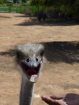 Safari Ostrich Show Farm : Fütterung