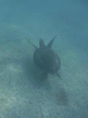 Akumal Dive Center: turtles