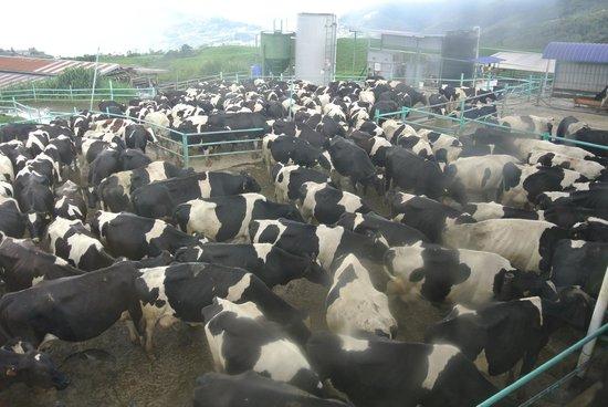 Desa Dairy Farm: Cows' Farm