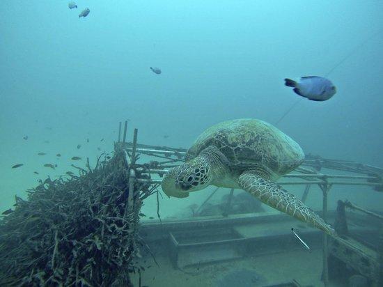 Scuba Junkie Mabul Beach Resort: Turtle underwater