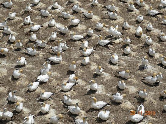 Muriwai Gannet Colony: The gannet colony