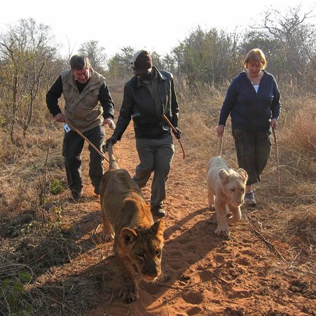 Walking with Lions at Victoria Falls : The lions like you to hold their tails as you walk with them!