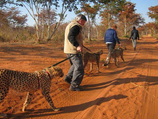 Walking with Lions at Victoria Falls : Walking with cheetahs