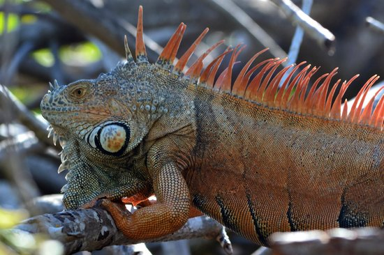 La Ventanilla: Iguana