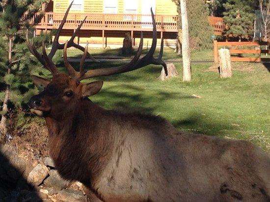 4 Seasons Inn on Fall River : Elk on front lawn