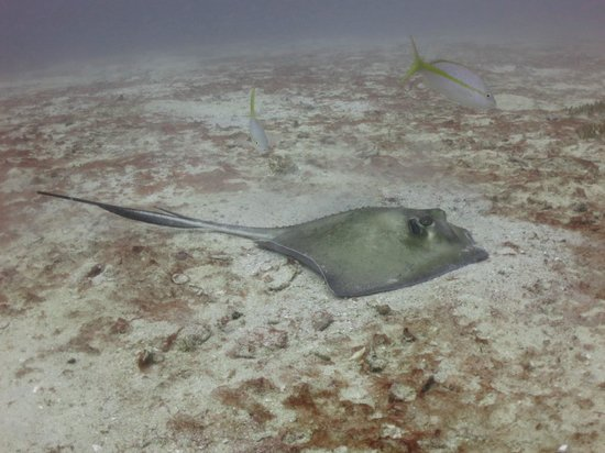Vigilant Divers Anguilla: Souther Stingray