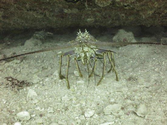 Vigilant Divers Anguilla: Lobster