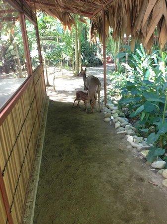 Fundación Jaguar Rescue Center: Deer and fawns