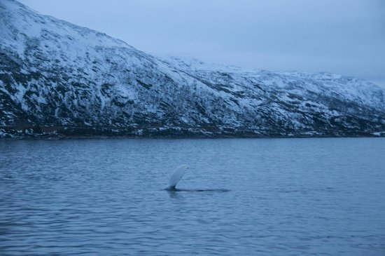 Arctic Whale Tours: Buckelwal
