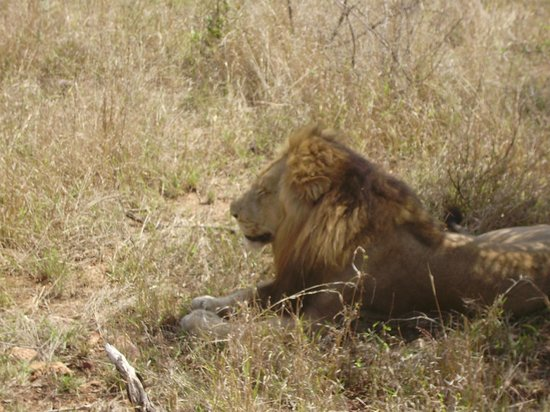 Dulini Lodge: Lion from Vehicle