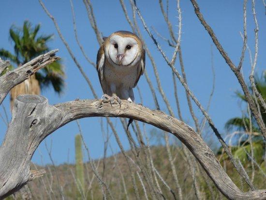 Arizona-Sonora Desert Museum: Raptor show- cool owls