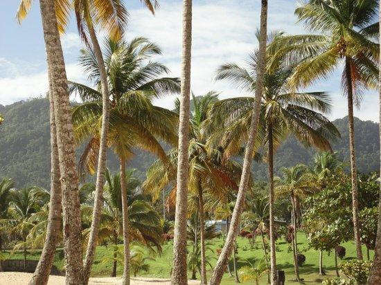 Maracas Bay : Beautiful coconut trees