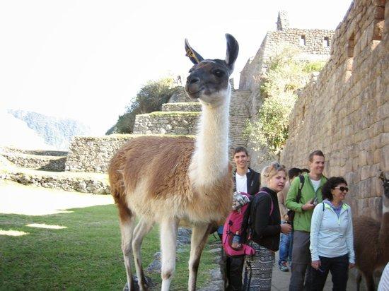 Kuoda Travel: Llamas running amok at Machu Pichu.