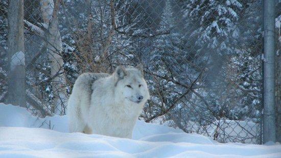 Ferme 5 Etoiles : Loup mâle adulte de la ferme