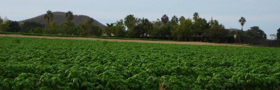 Rancho Pescadero: Field of basil on drive in