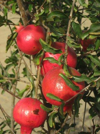 Rancho Pescadero: Pomegranates growing in the garden!