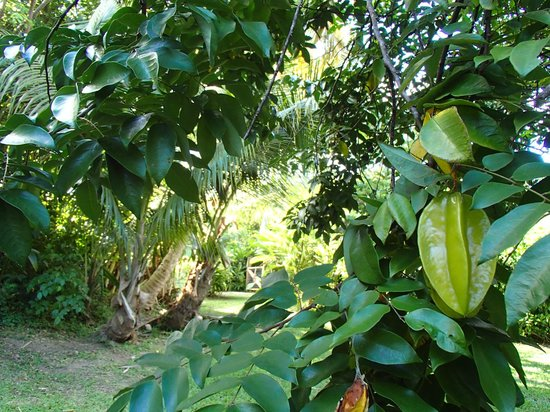 La Finca Vieques: star fruit tree