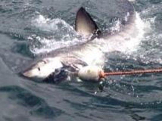 Shark Diving Unlimited: En dag på havet, en spännande 4 meters upplevelse.